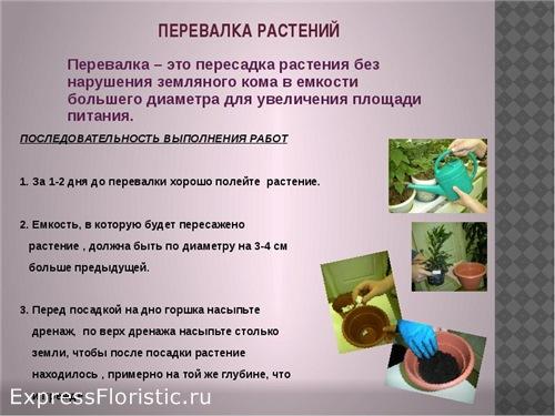 Как сделать перевалку комнатных растений