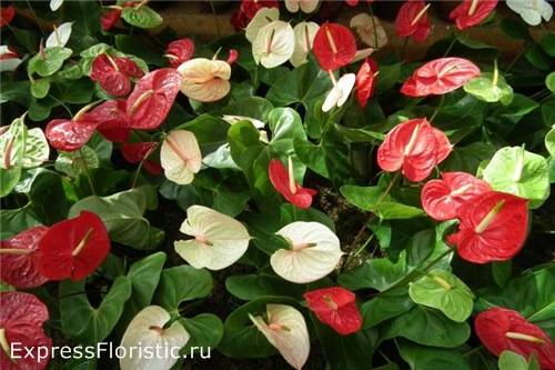 В период активного роста и цветения антуриум нуждается в регулярных подкормках.