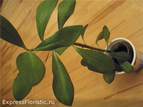 Синадениум (Sinadenium) - дерево любви