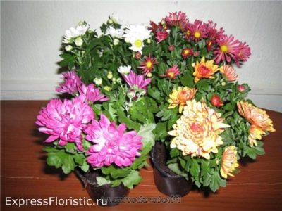 Комнатная хризантема