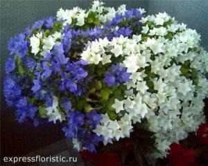 Цветок «жених и невеста»