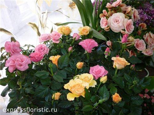 как выращивать розы в комнате