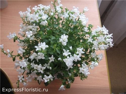 Домашний цветок Невеста. Уход