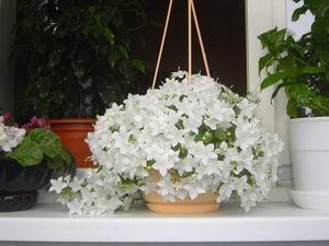 Домашний цветок кампанула