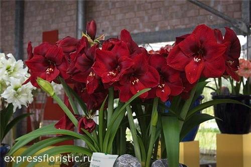 Гиппеаструм - домашний цветок