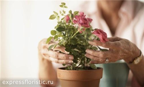 пересадка розы в комнате