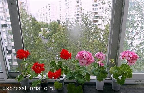 Герань (или пеларгония) - известное домашнее растение