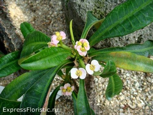 Молочай тучный с соцветиями и плодами