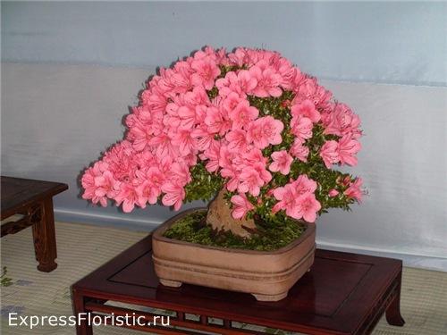 цветущее растением азалия