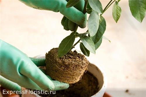 Вынимаем растение из транспортировочного горшка