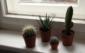 В домашних условиях кактусу обычно не хватает света