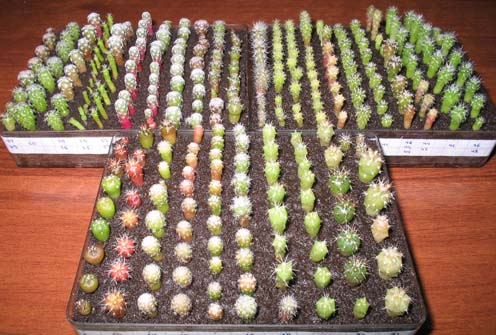 Высадка кактусов в почву
