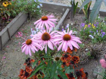 Высадка эхинацеи происходит либо весной