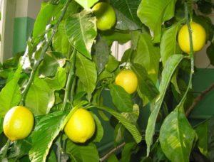 Плодоношение и вредитель лимонного дерева