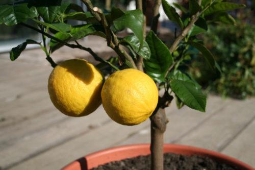 Поливать лимон необходимо два раза в семь дней